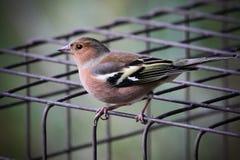 Vogel op draadkooi Stock Afbeeldingen