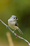 Vogel op een draad Stock Foto