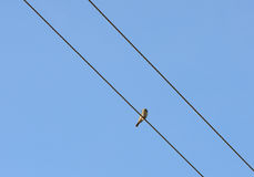 Vogel op een draad Stock Fotografie