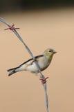 Vogel op een draad Royalty-vrije Stock Afbeeldingen