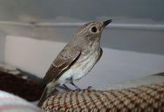 Vogel op een hoofdkussen Royalty-vrije Stock Foto