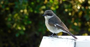 Vogel op een houten haag royalty-vrije stock foto