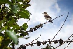 Vogel op een koffieboom Stock Foto's