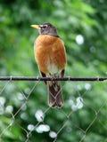 Vogel op een Omheining stock foto's