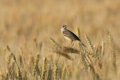 Vogel op een oor Royalty-vrije Stock Afbeeldingen