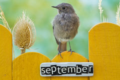 Vogel op een September verfraaide omheining wordt neergestreken die Stock Fotografie