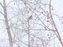 Vogel op een tak van een boom waxwing Stock Foto's