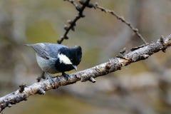 Vogel op een tak wordt neergestreken en het zoeken van voedsel dat Royalty-vrije Stock Afbeeldingen