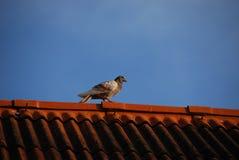 Vogel op het dak Royalty-vrije Stock Afbeeldingen