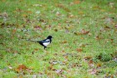 Vogel op het gras Stock Fotografie
