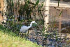 Vogel op het meer Stock Afbeelding