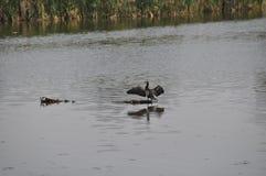 Vogel op het meer Stock Foto's