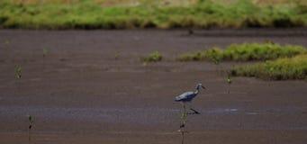 Vogel op moddervlakten stock videobeelden