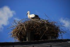 Vogel op nest Royalty-vrije Stock Fotografie