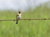 Vogel op prikkeldraad Royalty-vrije Stock Foto