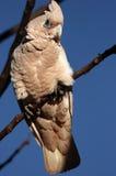 Vogel op tak in Australië Stock Afbeeldingen