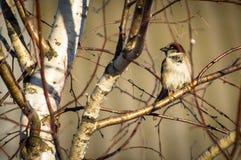 Vogel op tak van fruitboom royalty-vrije stock fotografie