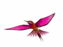 Vogel op witte achtergrond tijdens de vlucht wordt geïsoleerd die Royalty-vrije Stock Afbeelding