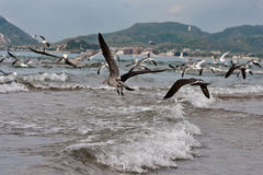 Vogel-Pelikane und Seemöwen im Flug über Brandung Stockfotos