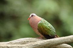 Vogel --- Pinon britische Taube Lizenzfreie Stockbilder
