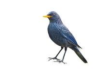 Vogel (Purpurpfeifdrossel) lokalisiert auf weißem Hintergrund Stockfotografie