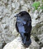 Vogel - Rabe Lizenzfreies Stockbild