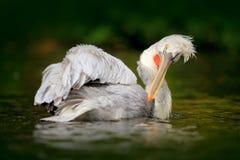 Vogel in rivier Witte Pelikaan, Pelecanus-erythrorhynchos, vogel in het donkere water, aardhabitat, Roemenië Het wildscène van Eu Royalty-vrije Stock Foto's