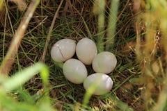 Vogel` s eieren Stock Foto