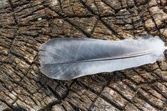 Vogel ` s Feder liegt auf dem Hintergrund eines Schnittes eines alten Stumpfs Stockfotos