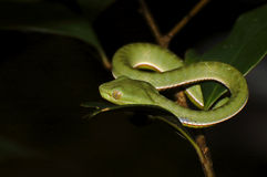 Vogel's green pitviper Trimeresurus vogeli Baby Close-up Stock Image