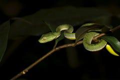Vogel's green pitviper Trimeresurus vogeli Baby Close-up Royalty Free Stock Image
