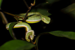 Vogel's green pitviper Trimeresurus vogeli Baby Close-up Stock Photo