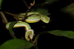Vogel's green pitviper Trimeresurus vogeli Baby Close-up Stock Photo