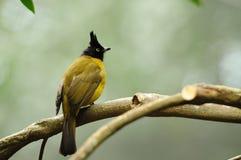 Vogel --- schwarz-mit Haube gelber Bulbul stockbild