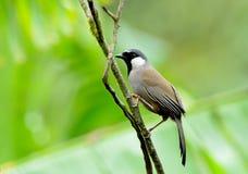 Vogel (Schwarz-throated Laughingthrush), Thailand Stockbilder