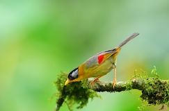Vogel (Silber-ohriges Mesia), Thailand Lizenzfreie Stockfotos