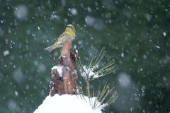 Vogel in Sneeuw royalty-vrije stock foto