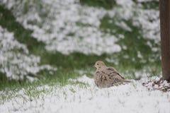 Vogel in Sneeuw - het Rouwen Duif Stock Fotografie