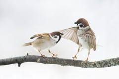 Vogel-Spatz argumentieren auf der Niederlassung, welche die Flügel flattert lizenzfreies stockbild