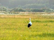 Vogel-Storch, der durch Weide geht Stockfoto