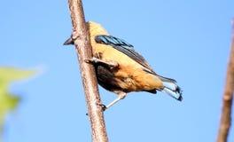 Vogel tangara cayana auf der Niederlassung Stockfoto