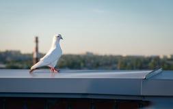 Vogel tauchte auf dem Dach Lizenzfreie Stockfotos