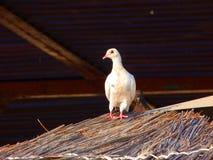 Vogel tauchte auf dem Dach Wenig weiße Taube Taube auf dem Strohdach lizenzfreie stockfotografie
