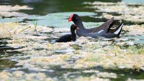 Vogel, Teichhuhn und Schätzchen Stockfotografie
