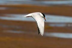 Vogel tijdens de vlucht op het Chincoteague-het Wildtoevluchtsoord Royalty-vrije Stock Foto