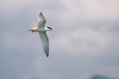Vogel tijdens de vlucht - Roseate Stern royalty-vrije stock afbeeldingen