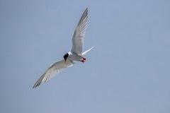 Vogel tijdens de vlucht - Roseate Stern royalty-vrije stock foto's