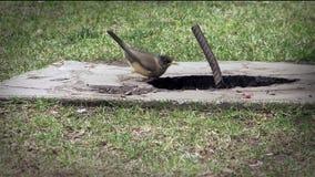 Vogel-Trinkwasser in einem kleinen Teich stock video footage
