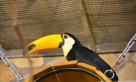 Vogel tukan im Zoo, in der Gefangenschaft Ein Vogel mit einem großen hellen gelben Schnabel Lizenzfreie Stockfotografie