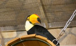 Vogel tukan im Zoo, in der Gefangenschaft Ein Vogel mit einem großen hellen gelben Schnabel Stockfotografie